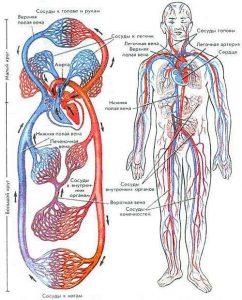 Профилактика старения органов кровообращения