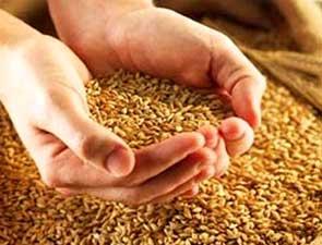 Приготовление зерновых ростков