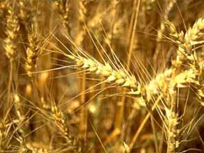 Зерновые ростки для омоложения и лечения