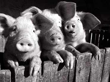 """Поросята , поросята животные звери свиньи поросенок.  Предпросмотр схемы вышивки  """"Поросята."""