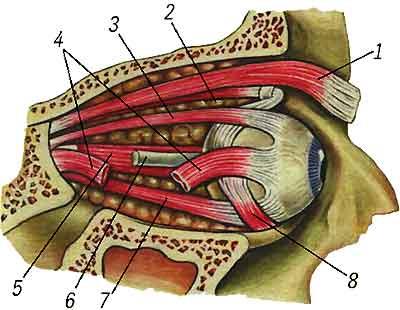 Мышцы глаза