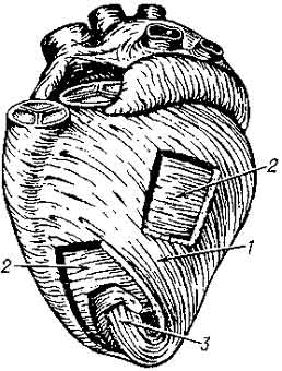 muscle layer Сердце