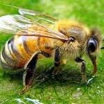 Лечение суставов пчелиными укусами