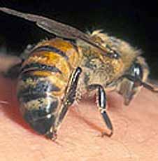 Лечение пчелиным ядом суставы лошадиная сила гель для суставов инструкция противопоказания
