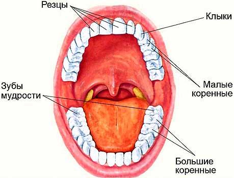 Расположение зубов человека
