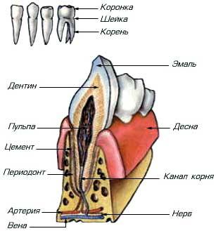 Название зубов у человека. Название зубов (схема). Названия молочных зубов
