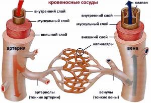 Вены - описание органа