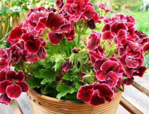 Полезные свойства душистой герани (Use scented geraniums)
