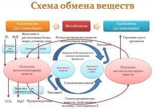 Схема обмена веществ (The scheme of metabolism)