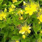 Зверобой: трава для счастья и здоровья