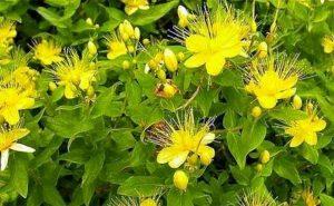 Зверобой: трава для счастья и здоровья (Tutsan: grass for happiness and health)