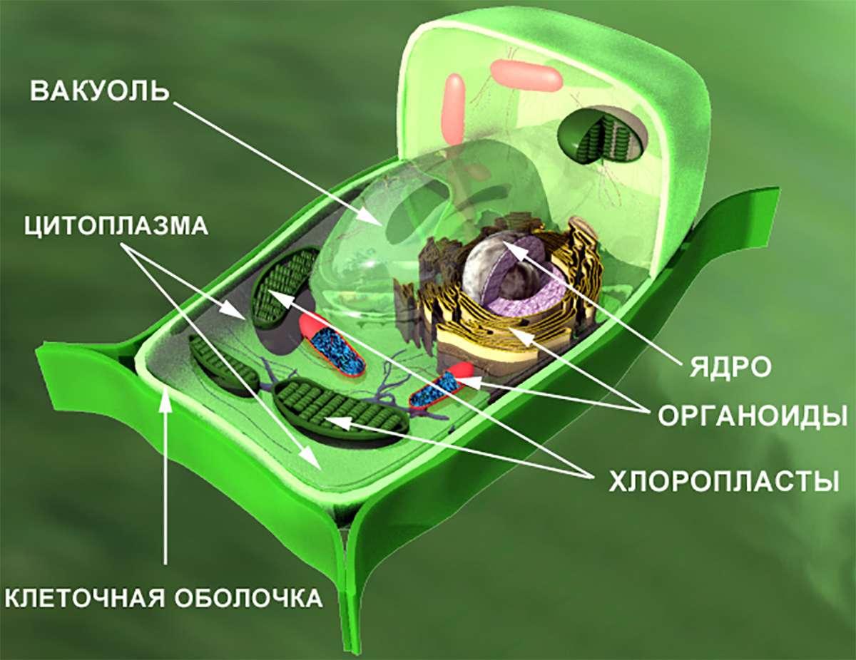 Внутреннее строение растительной клетки (The internal structure of the plant cell)
