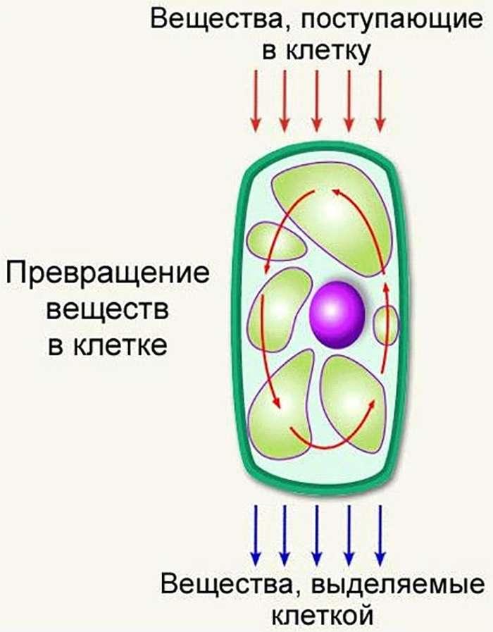 Обмен веществ в клетке (Metabolism in the cell)