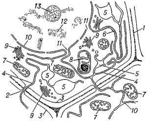scheme-structure-cell-educational-tissue-meristem-plant