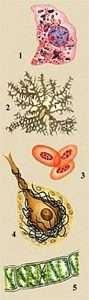 Разнообразие животных и растительных клеток (Variety of animal and plant cells)