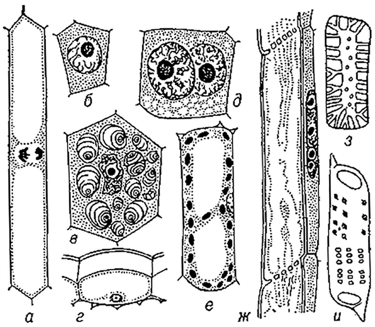 Разнообразие клеток высших растений (Variety of cells of higher plants)