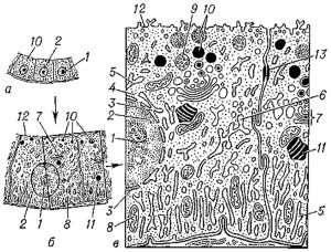 Общий вид эпителиальной клетки животного при различном увеличении (General view of the epithelial cell of the animal at different magnifications)